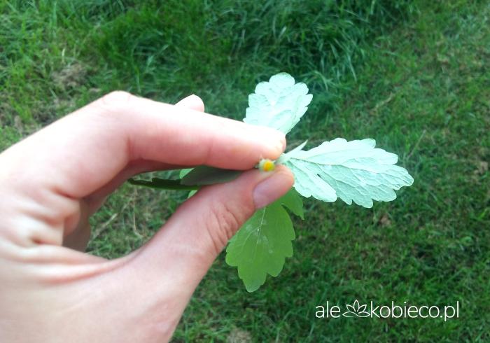 Glistnik jaskółcze ziele - sok na kurzajki i ból brzucha