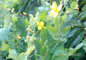 Glistnik jaskółcze ziele na kurzajki